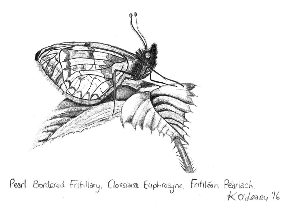 ButterflyPearlBorderedFritillaryClossianaEuphrosyneKOLeary2016sml