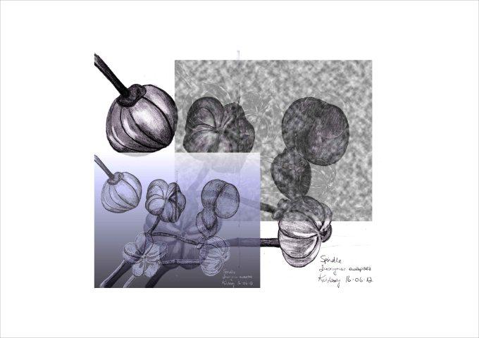 Spindle:EuonymusEuropaeaIIKOLeary2012